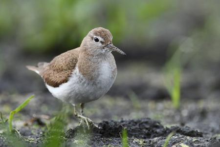 nesting: Temmincks stint