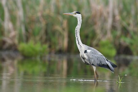 gray herons: Grey heron (Ardea cinerea)
