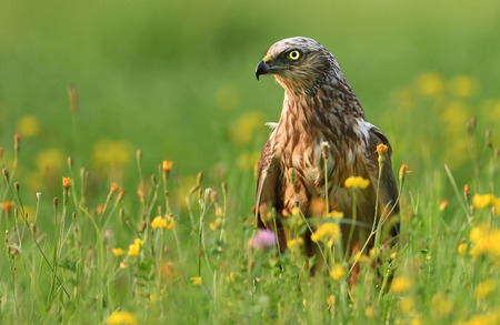 Marsh harrier (Circus aeruginosus) - male