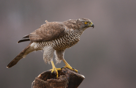 Northern Goshawk (Accipiter gentilis) - adult