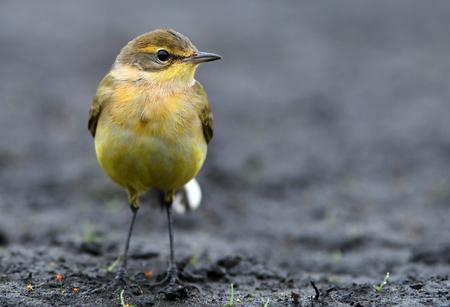 motacilla: Yellow wagtaiil (Motacilla flava)