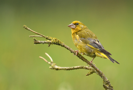 Greenfinch bird (Chloris chloris)