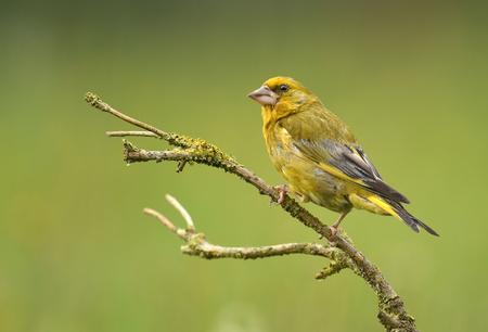 greenfinch: Greenfinch bird (Chloris chloris)