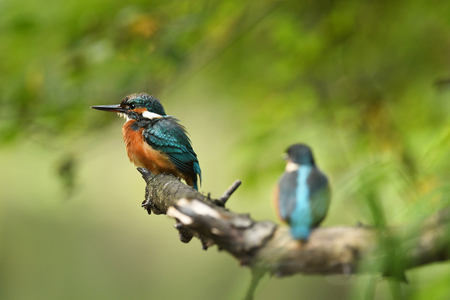Kingfisher (Alcedo atthis) - young one Stock Photo