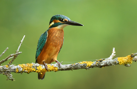 alcedo: Kingfisher (Alcedo atthis)