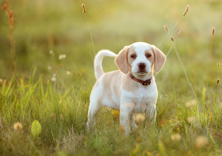 cute puppy: Cute beagle dog puppy
