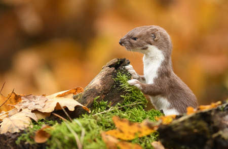 Weasel in autumn forest