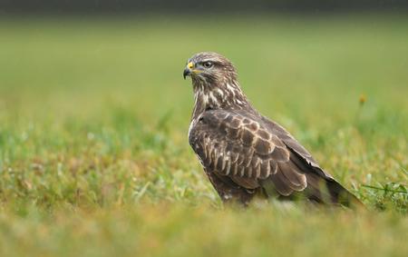 Young Common buzzard (Buteo buteo) Stock Photo