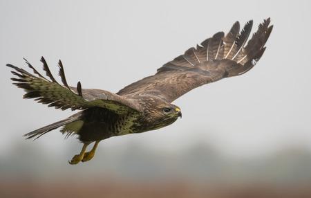 buzzard: Common buzzard (Buteo buteo) Stock Photo