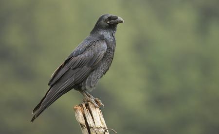animalia: Raven (Corvus corax)