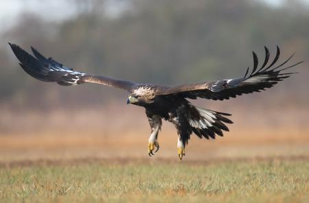 chrysaetos: Golden Eagle (Aquila chrysaetos)