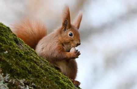 sciurus: Red Squirrel (Sciurus vulgaris)