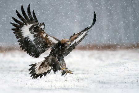 aguila real: Águila real (Aquila chrysaetos)
