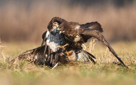agression: Fighting common buzzards (Buteo buteo) Stock Photo
