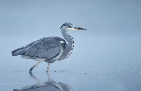 gray herons: Grey heron (Ardea cinerea) in the mist