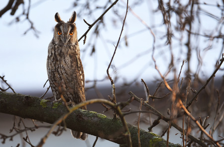 Canopies: Long-eared owl (Asio otus)
