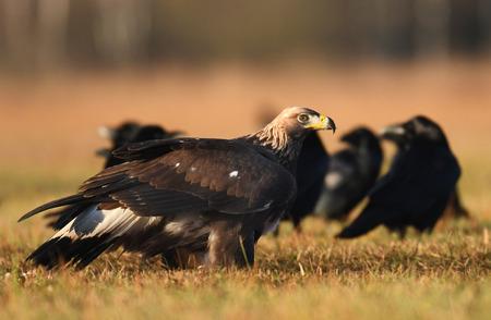 aigle royal: Golden Eagle (Aquila chrysaetos)