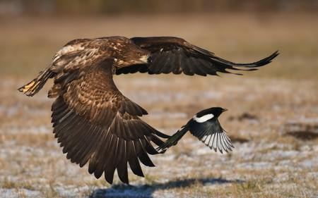 winter sunrise: White tailed Eagle (Haliaeetus albicilla) Stock Photo