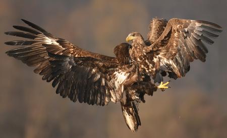 eagle falls: White tailed Eagles (Haliaeetus albicilla) fighting Stock Photo