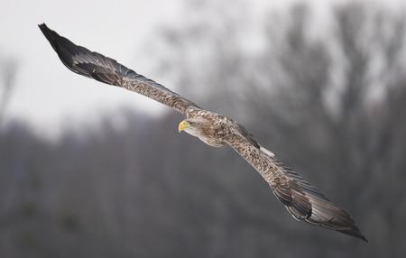 eagle falls: White tailed Eagle (Haliaeetus albicilla) Stock Photo