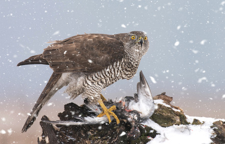 Northern goshwak (Accipiter gentilis)