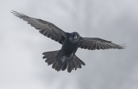 corvus: Common Raven (Corvus corax) Stock Photo