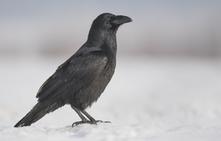 corax: Common Raven (Corvus corax) Stock Photo