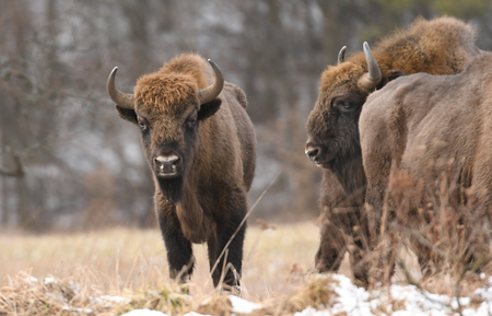 European bisons (Bison bonasus)