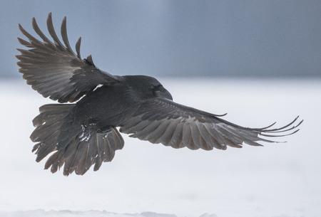 일반적인 까마귀 (Corvus corax) 스톡 콘텐츠
