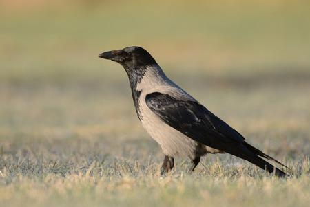 Hooded crow (Corvus corona)