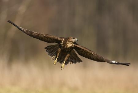 eagle falls: Common buzzard (Buteo buteo) Stock Photo