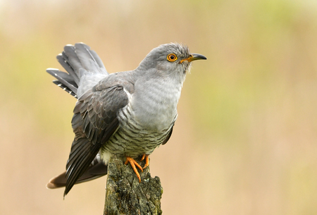 Common cuckoo (Cuculus canorus) Фото со стока