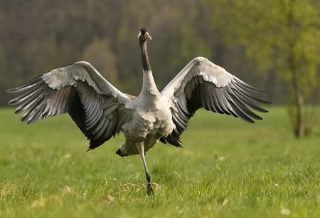 Common crane (Grus grus) Stock Photo