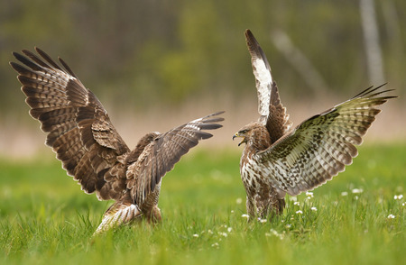 Fighting common buzzards (Buteo buteo) Stock Photo