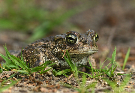 Natterjack toad (Bufo calamita) Stock Photo