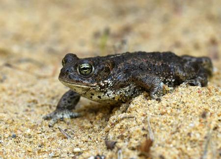 Natterjack toad (Bufo calamita) Stock Photo