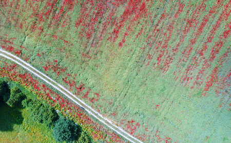 Aerial landscape of fields of poppy Stock Photo