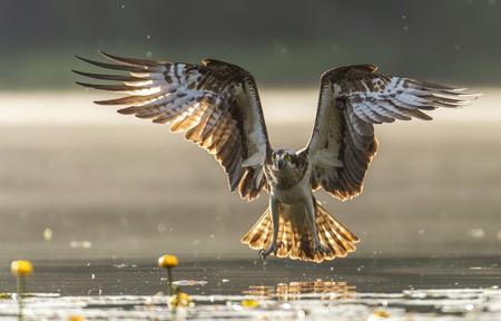 Osprey (Pandion haliaetus) Banque d'images - 81942509