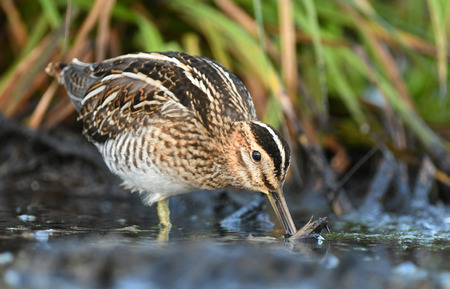 Common Snipe (Gallinago gallinago) Stock Photo