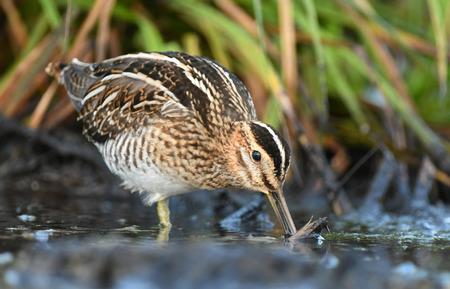 common reed: Common Snipe (Gallinago gallinago) Stock Photo