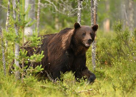 Ours brun sauvage (Ursus arctos) Banque d'images - 84808293