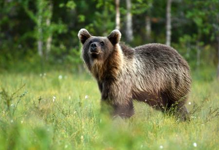 Wilde bruine beer (Ursus arctos) Stockfoto