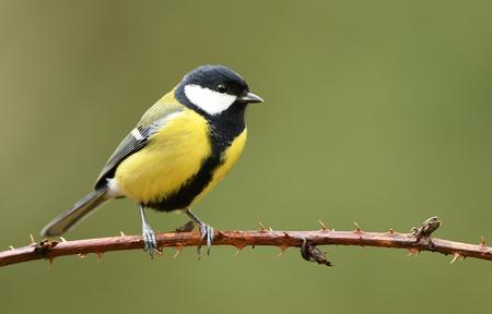 Great tit (Parus major) Stock Photo