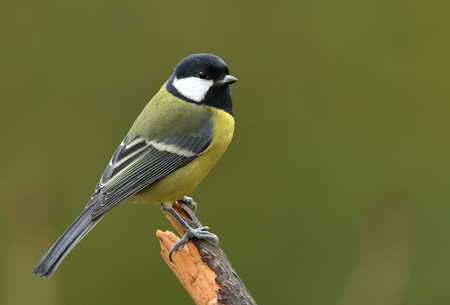 Great tit (Parus major) Фото со стока