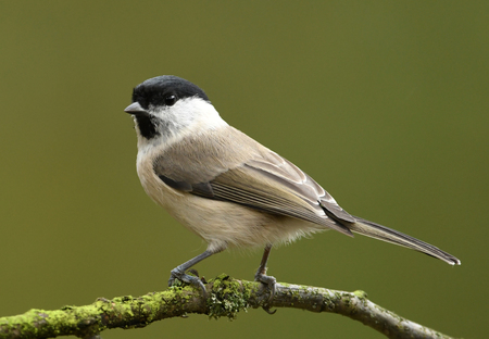 background: Willow Tit (Poecile montanus)