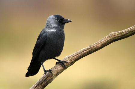 Jackdaw Crow (Corvus Monedula) Imagens