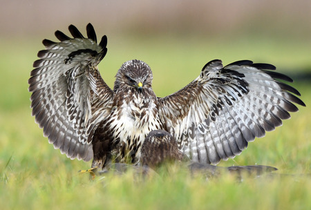 Common buzzard (Buteo buteo) 스톡 콘텐츠