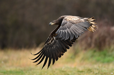 White tailed Eagle (Haliaeetus albicilla) 스톡 콘텐츠