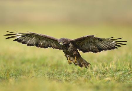 Common buzzard (Buteo buteo) Banque d'images