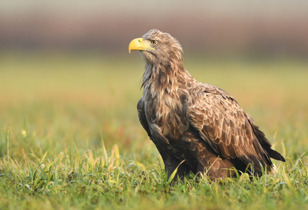 White tailed Eagle (Haliaeetus albicilla) Stock Photo